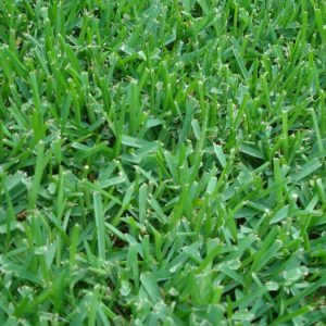 St Augustine Grass Sod Baton Rouge, New Orleans, Lafayette, L?ake Charles Sod